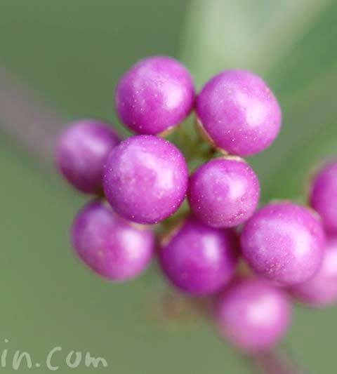 コムラサキム(小紫)の実の写真・花言葉|ムラサキシキブ