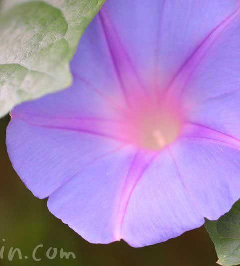 朝顔(琉球朝顔・オーシャンブルー)の花の写真・花言葉