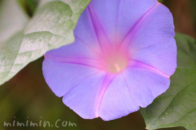 オーシャンブルー・琉球朝顔の画像