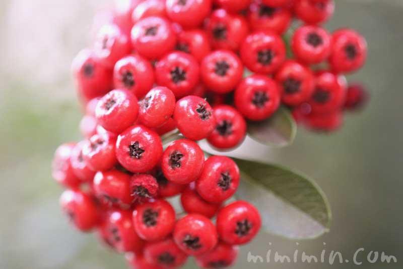 常磐山査子の赤い実の写真