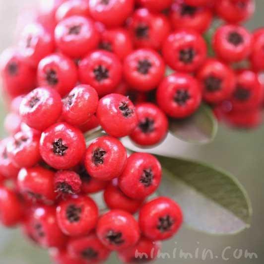 トキワサンザシの赤い実の画像