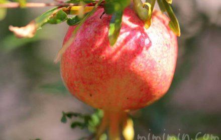 ザクロの実の写真と花言葉の画像