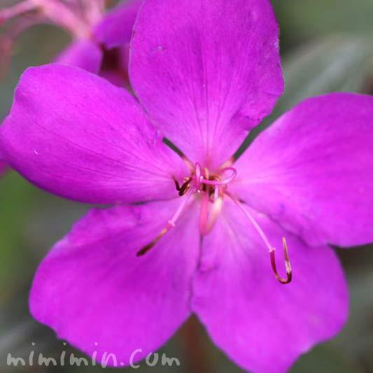 シコンノボタンの花の写真