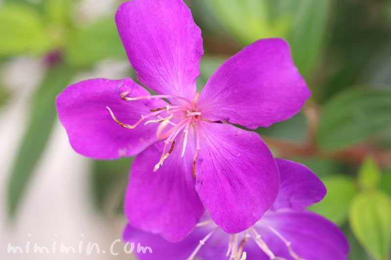 紫紺野牡丹の画像