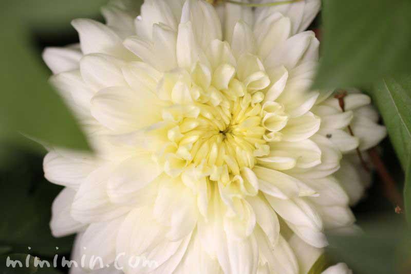 白い菊の画像