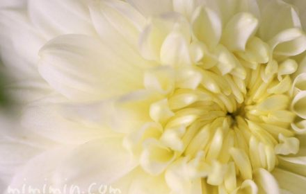 菊の花・白の画像