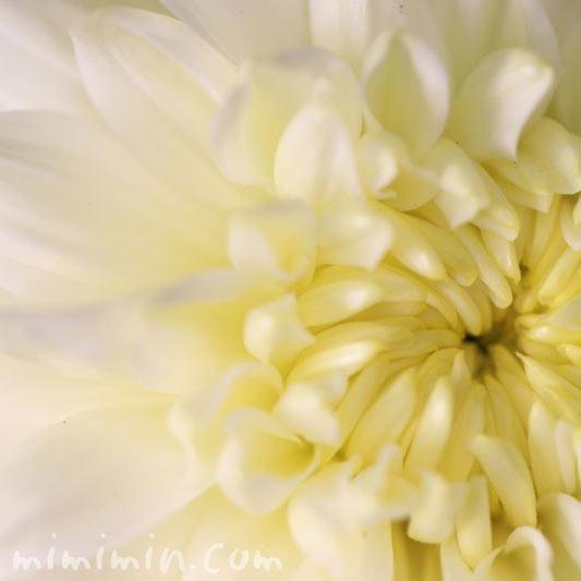 菊・白色の画像