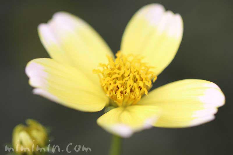 ウインターコスモスの花