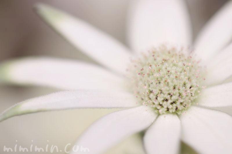 フランネルフラワーの花言葉
