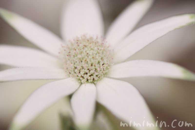 フランネルフラワーの花言葉の画像