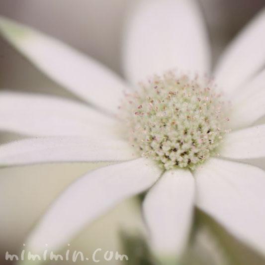 フランネルフラワーの花言葉と誕生花