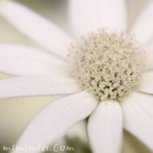 フランネルフラワーの花言葉と誕生花の写真