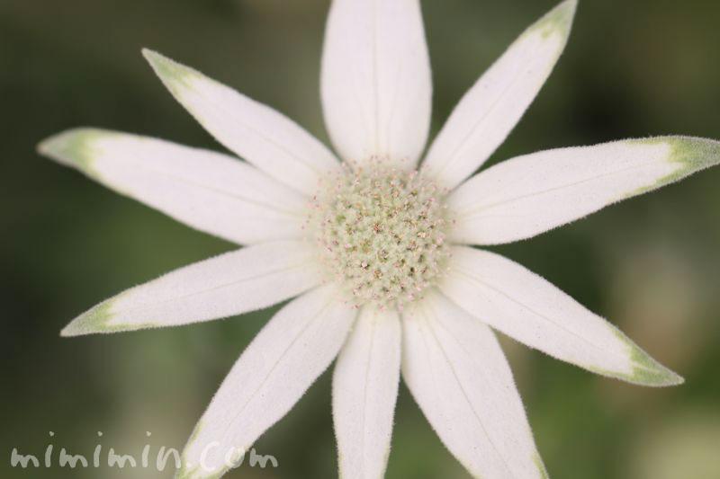 フランネルフラワーの花の写真