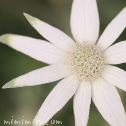 フランネルフラワーの誕生花