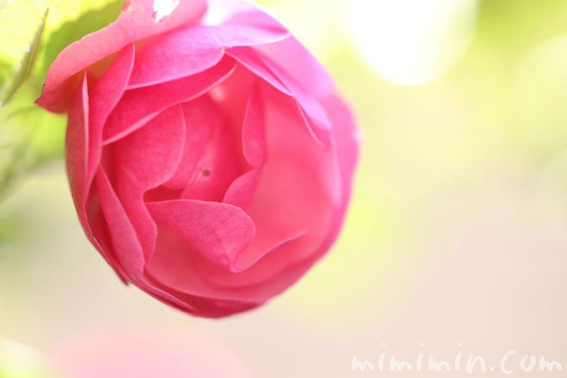 バラの花言葉の写真