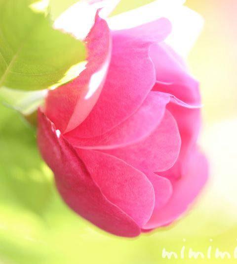 カップ咲きのバラの写真・色別 本数別のバラの花言葉