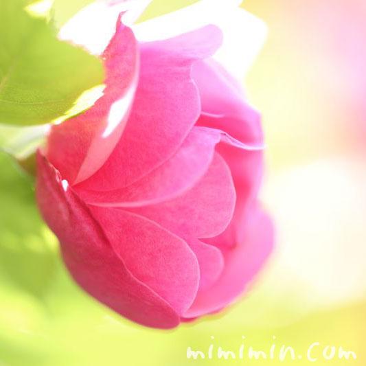 バラ・ピンク・カップ咲きの画像