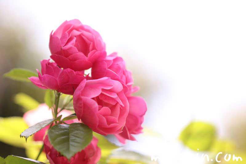 ピンクのバラ・花言葉の写真
