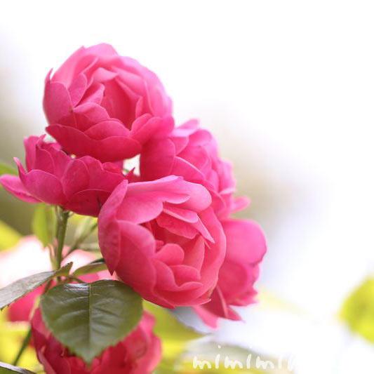 バラの花・ピンク・カップ咲きの写真