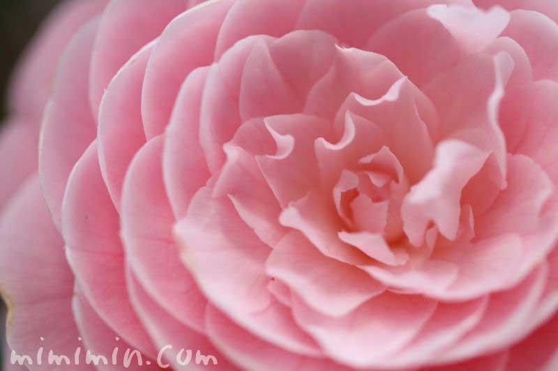オトメツバキの花言葉の画像