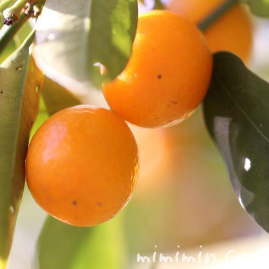 金柑の花言葉の写真