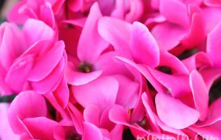 ピンクのシクラメンの写真 花言葉の画像