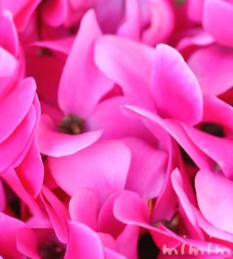 シクラメンの花の写真&花言葉