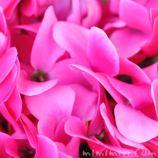 シクラメンの花の写真と花言葉の画像