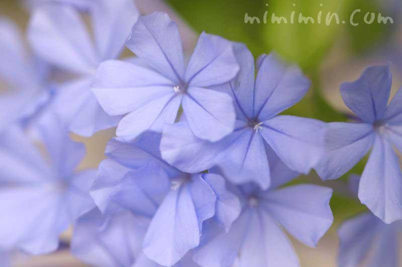 瑠璃茉莉の花言葉の画像