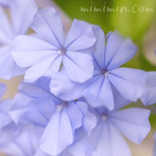 ルリマツリの花