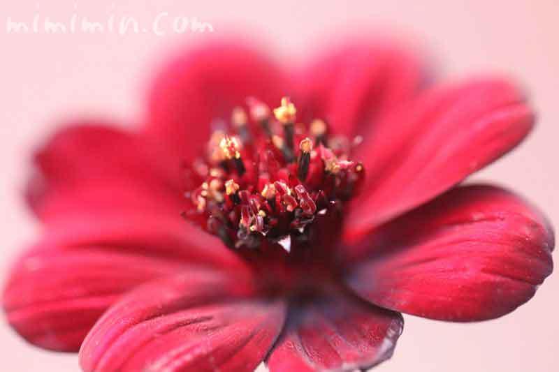 チョコレートコスモスの花言葉