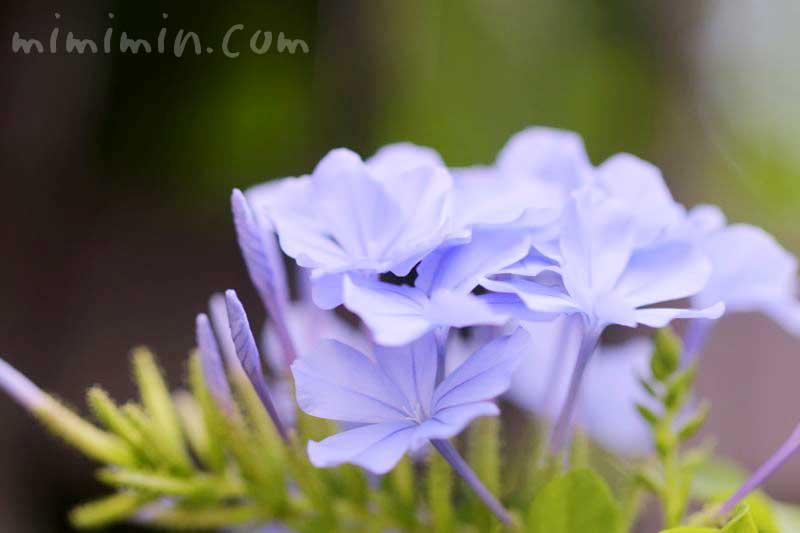 ルリマツリの花言葉の写真