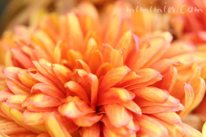 菊の花(橙)の画像