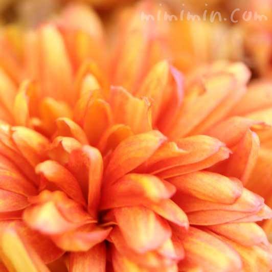 菊(オレンジ色)の画像