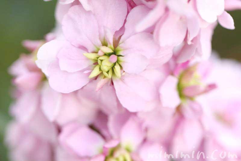 八重咲きストックの花の画像
