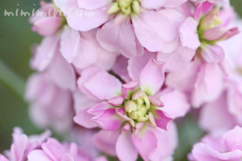 八重咲きストックの写真