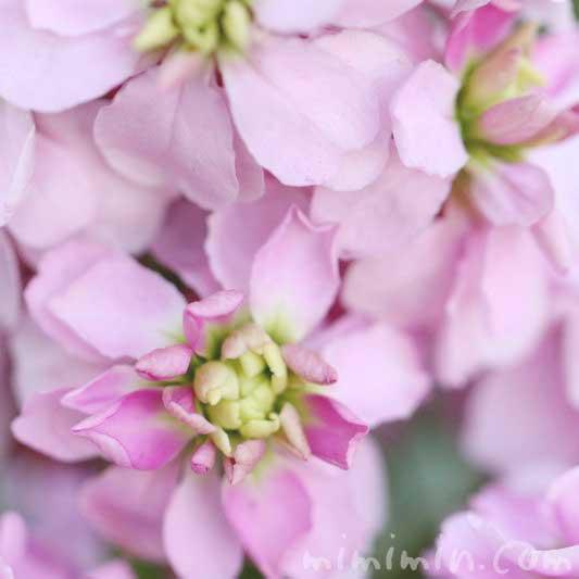 ストックの花・薄いピンク