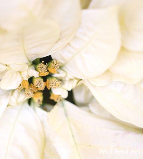 ポインセチアの花言葉・毒性・誕生花