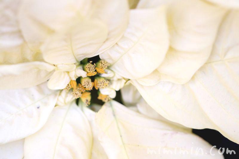 ポインセチア 白色の写真