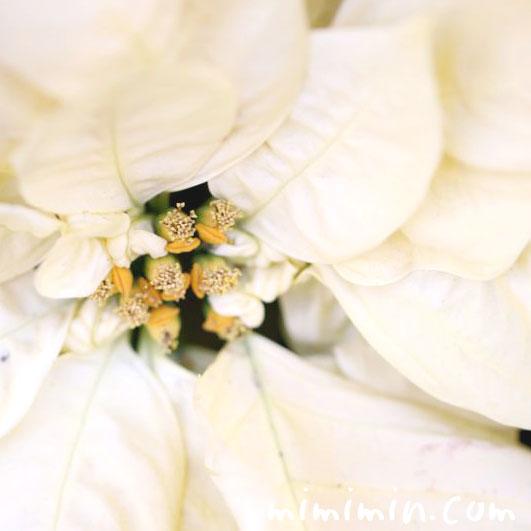 ポインセチア 白の画像