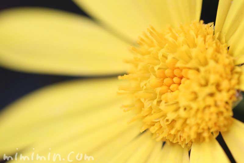 ユリオプスデージーの誕生花と名前の由来の写真