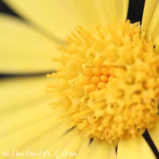 ユリオプスデージーの花言葉・誕生花