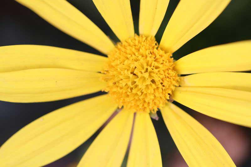 ユリオプスデージーの花言葉と名前の由来の画像