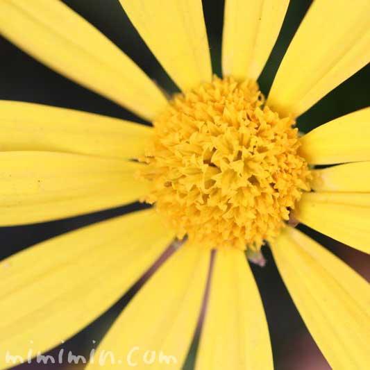 ユリオプスデージーの誕生花と名前の由来