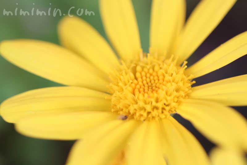 ユリオプスデージーの花言葉と名前の由来