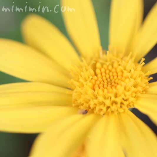 ユリオプスデージーの花言葉・誕生花の画像