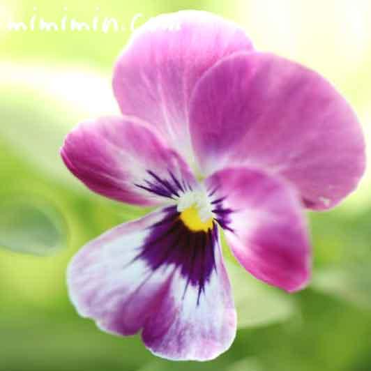 パンジーの花(紫)