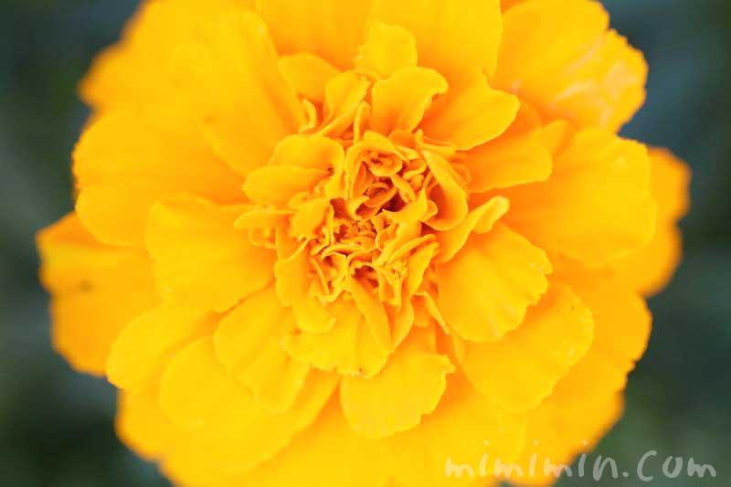マリーゴールド(オレンジ色)の写真 花言葉