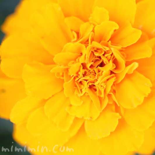マリーゴールド(オレンジ色)の花の花言葉