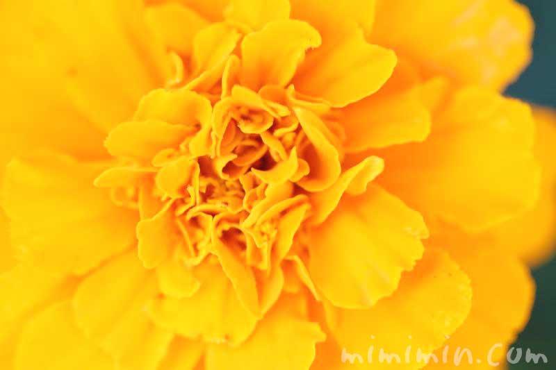 マリーゴールド(オレンジ色)の写真と花言葉の画像